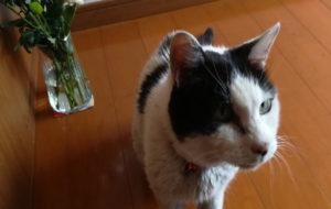 マスコット猫:コロちゃん